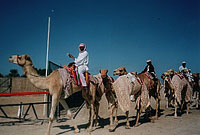 Camels led onto race course
