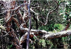 Noosa Heads Tea Trees